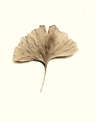 B1264D - Blaustein, Alan - Ginkgo Leaf