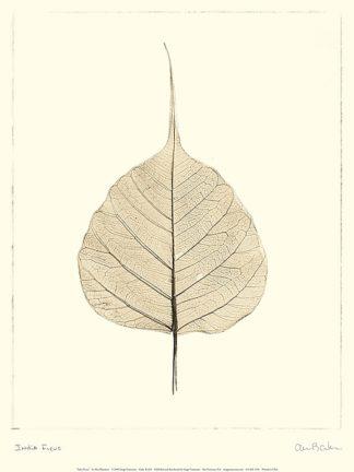 B1265 - Blaustein, Alan - India Ficus