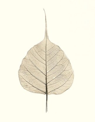 B1265D - Blaustein, Alan - India Ficus
