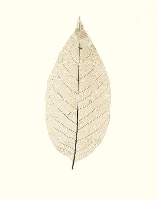 B1268D - Blaustein, Alan - Chinese Magnolia