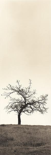 B1290D - Blaustein, Alan - Cherry Blossom Tree