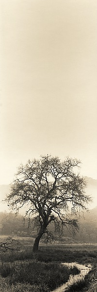 B1291D - Blaustein, Alan - Valley Oak Tree