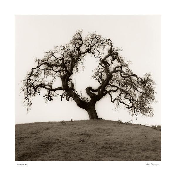 B1301 - Blaustein, Alan - Hillside Oak Tree