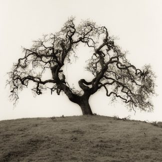 B1301D - Blaustein, Alan - Hillside Oak Tree