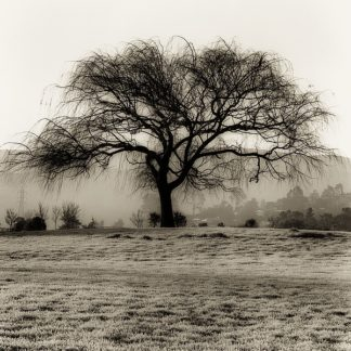 B1302D - Blaustein, Alan - Willow Tree