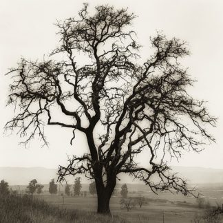 B1303D - Blaustein, Alan - Country Oak Tree