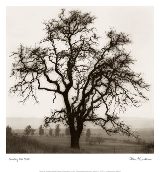B1307 - Blaustein, Alan - Country Oak Tree