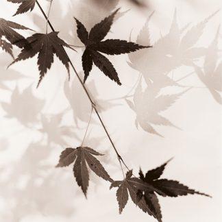 B1422D - Blaustein, Alan - Japanese Maple Leaves No. 1