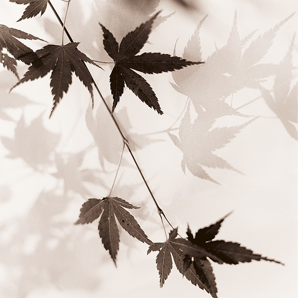 B1422D - Blaustein, Alan - Japanese Maple Leaves No. 1