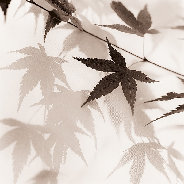 B1423D - Blaustein, Alan - Japanese Maple Leaves No. 2