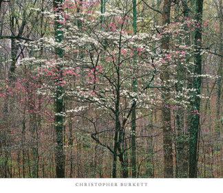 B2268 - Burkett, Christopher - Pink and White Dogwoods, Kentucky