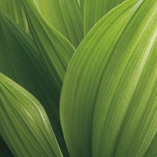 B2645D - Bell, Jan - Corn Lily