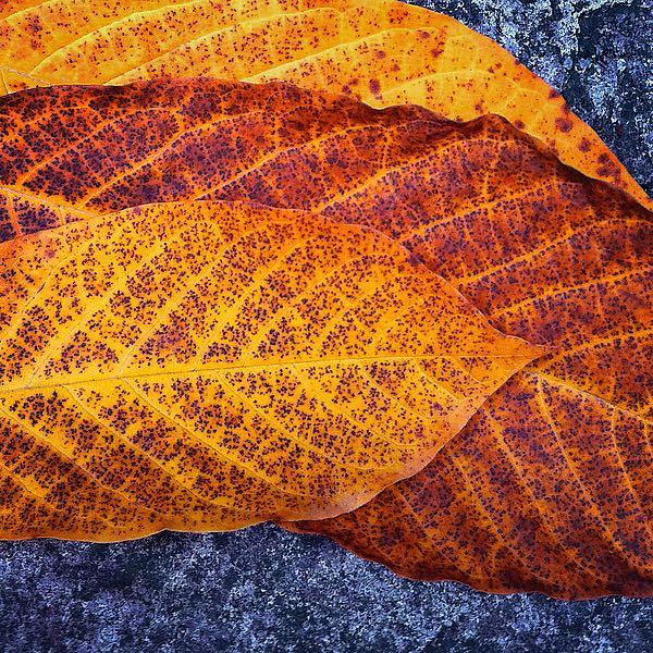 B3281D - Bell, Jan - Three Leaves