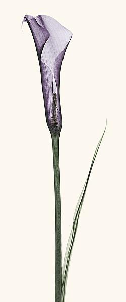 C1028D - Coop, Robert - Calla Lily