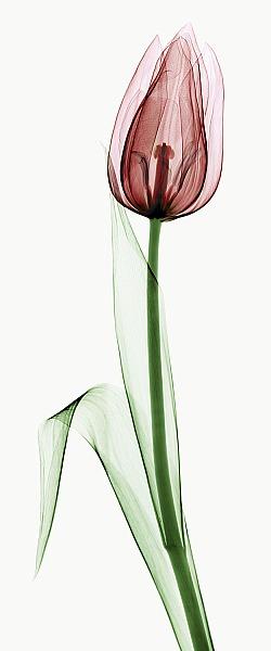 C1037D - Coop, Robert - Tulip II