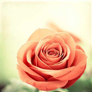 C928D - Cochrane, Carolyn - My Perfect Rose