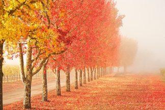 G704D - Ganju, Abhi - Fall Trees in the Mist