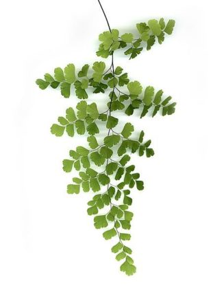 G838D - Greer, Lexie - Green Maidenhair