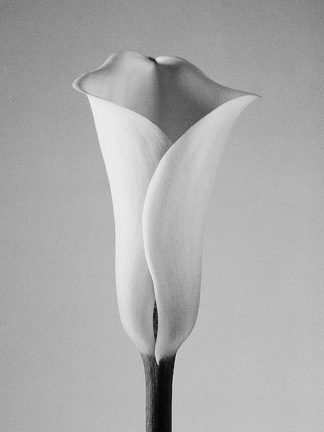 IN236_1 - PhotoINC Studio - Calla No. 1