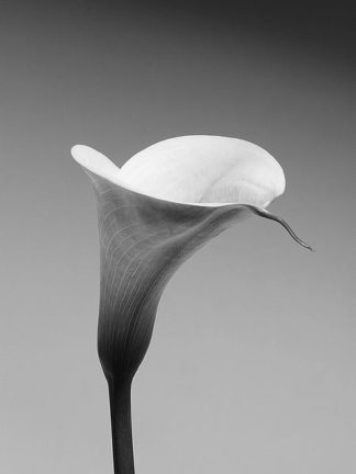 IN236_3 - PhotoINC Studio - Calla No. 3