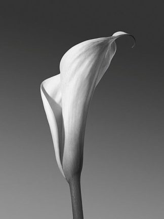 IN236_4 - PhotoINC Studio - Calla No. 4