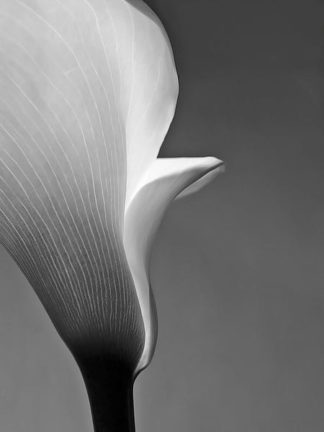 IN236_5 - PhotoINC Studio - Calla No. 5
