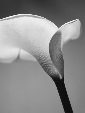 IN236_6 - PhotoINC Studio - Calla No. 6