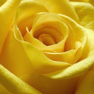 IN30866 - PhotoINC Studio - Yellow Rose