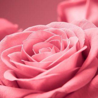 IN30868 - PhotoINC Studio - Pink Rose