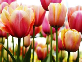 IN30888 - PhotoINC Studio - Tulips