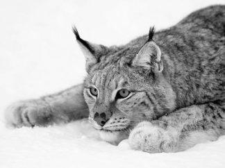 IN32177-2 - PhotoINC Studio - Lynx