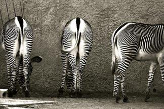 L723D - Lawhorn, Courtney - Zebra Butts