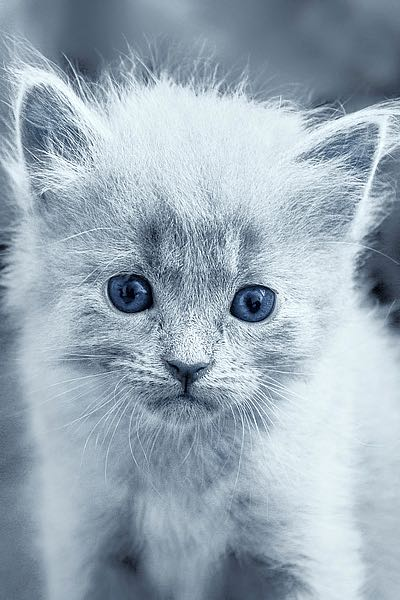 L812D - Louise, Tracie - Blue Kitty