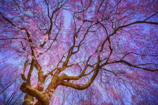 M1306D - Mikaels, Natalie - Weeping Cherry