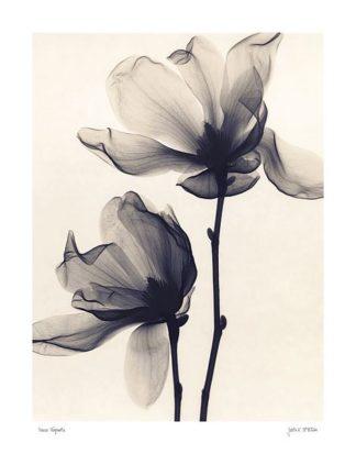 M869 - McMillan, Judith - Saucer Magnolia