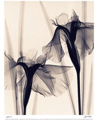M941 - McMillan, Judith - Japanese Iris