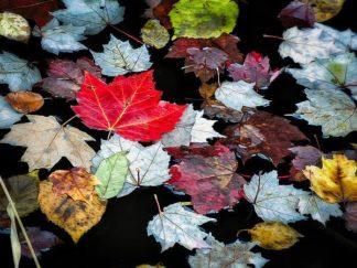 P1122D - Pollard, David W. - Autumn Leaves