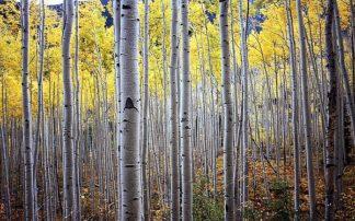 P892D - PhotoINC Studio - Birch Woods