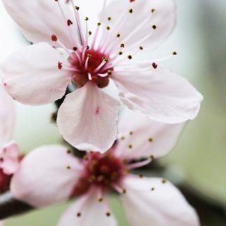 P898D - PhotoINC Studio - Cherry Flower 2