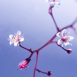 P899D - PhotoINC Studio - Cherry Flower 3