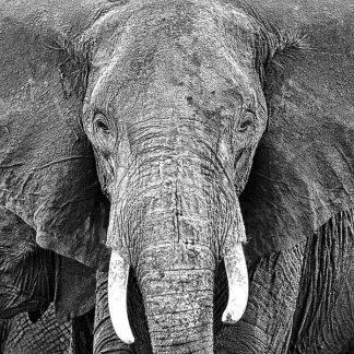 P917D - PhotoINC Studio - Elephant
