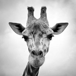 P920D - PhotoINC Studio - Giraffe