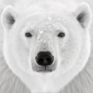 P935 - PhotoINC Studio - Polar Bear
