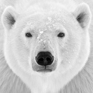P935D - PhotoINC Studio - Polar Bear