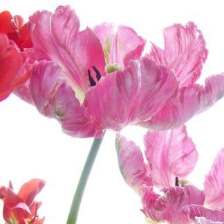 S1505D - Stalus, Judy - Parrot Tulips