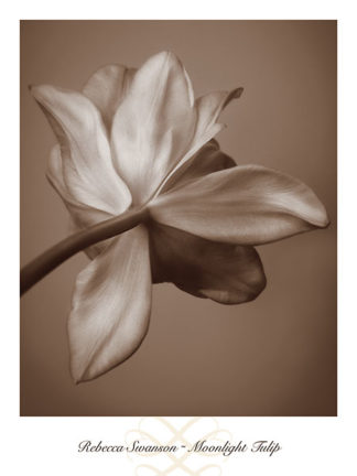 S781 - Swanson, Rebecca - Moonlight Tulip