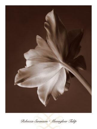S782 - Swanson, Rebecca - Moonglow Tulip