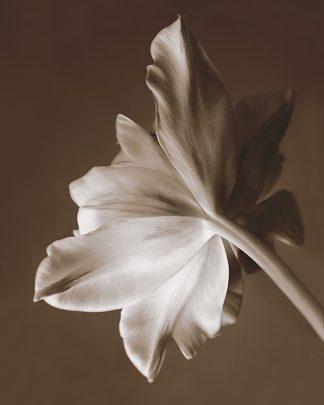 S782D - Swanson, Rebecca - Moonglow Tulip
