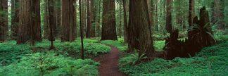 T469D - Thomas, Alain - Redwoods Path