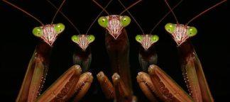 Z154D - Zephyr, Patrick - Praying Mantis: Family Portrait